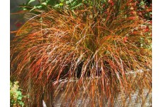 CAREX TESTACEA PRAIRIE FIRE ORNAMENTAL GRASS 2 LITRE POTTED PLANT - PRICED INDIVIDUALLY