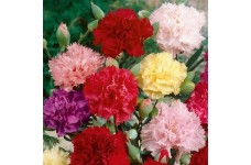 CARNATION CHABAUD MIX COLOUR SEEDS - 500 SEEDS