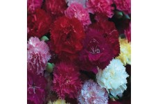 CARNATION HARDY BORDER MIX (MIXED COLOURS) PERENNIAL SEEDS - 200 SEEDS