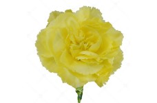 CARNATION CHABAUD MARIE YELLOW - DIANTHUS CARYOPHYLLUS - 350 SEEDS