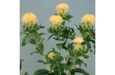 CARTHAMUS TINCTORIUS WHITE GRENADE SEEDS - IVORY WHITE SAFFRON FLOWER THISTLE - 30 SEEDS