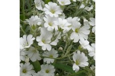 CERASTIUM TOMENTOSUM SNOW IN SUMMER WHITE PERENNIAL 0.5L / 9CM POTTED PLANT - PRICED INDIVIDUALLY