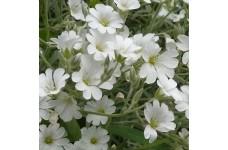 CERASTIUM TOMENTOSUM SNOW IN SUMMER WHITE PERENNIAL PLUG PLANT (5CM PLUG) - PRICED INDIVIDUALLY