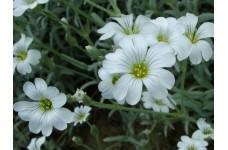 CERASTIUM TOMENTOSUM SEEDS - SNOW IN SUMMER SEEDS - WHITE FLOWERS - 1000 SEEDS