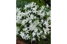 CHIONODOXA LUCILIAE ALBA BULBS - GLORY OF THE SNOW WHITE PERENNIAL STARY BLOOMS - PRICED INDIVIDUALLY