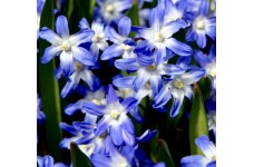 CHIONODOXA LUCILAE BLUE BULBS - GLORY OF THE SNOW BLUE PERENNIAL STARY BLOOMS - PRICED INDIVIDUALLY