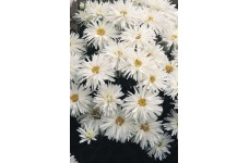 CHRYSANTHEMUM CRAZY DAISY SEEDS (WHITE) PERENNIAL SEEDS - 100 SEEDS