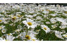 CHRYSANTHEMUM LEUCANTHEMUM SHASTA DAISY WHITE PERENNIAL 1 LITRE POTTED PLANT - PRICED INDIVIDUALLY