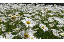CHRYSANTHEMUM LEUCANTHEMUM SHASTA DAISY WHITE PERENNIAL 0.5L / 9CM POTTED PLANT - PRICED INDIVIDUALLY