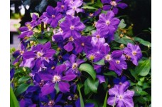 CLEMATIS PRESIDENT SEEDS - LARGE PURPLE FLOWERS - PERENNIAL CLIMBER - 50 SEEDS