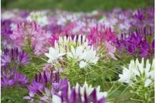 CLEOME HASSLERIANA SPIDER PLANT SEEDS - SPIDER FLOWER - 500 SEEDS