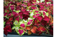 COLEUS WIZARD MIX (BEDDING & CONTAINERS ANNUALS) 0.5L / 9CM POTTED PLANT - PRICED INDIVIDUALLY