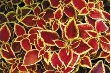 COLEUS WIZARD SCARLET SEEDS - SCARLET RED COLEUS - 50 SEEDS