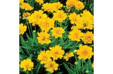 COREOPSIS GRANDIFLORA SEEDS - EARLY SUNRISE (YELLOW) PERENNIAL SEEDS - 50 SEEDS