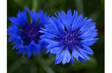 CENTAUREA CYANUS BLUE BALL - BLUE CORNFLOWER SEEDS - 1000 SEEDS