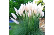 CORTADERIA SELLOANA ALBA WHITE PAMPAS GRASS PLUG PLANT (5CM PLUG) - PRICED INDIVIDUALLY