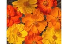 COSMOS BIPINNATUS BRIGHT LIGHTS MIX SEEDS - RED, ORANGE & YELLOW FLOWERS - 100 SEEDS