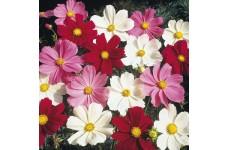 COSMOS BIPINNATUS DWARF MIX SEEDS - WHITE, PURPLE, PINK & CRIMSON FLOWERS - 100 SEEDS