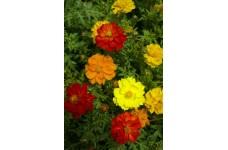 COSMOS CARPET FORMULA MIX SEEDS - YELLOW, ORANGE & RED FLOWERS - 100 SEEDS
