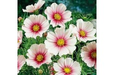 COSMOS BIPINNATUS DAYDREAM SEEDS - WHITE FLOWERS WITH PINK INTERIOR - 100 SEEDS