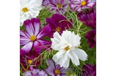 COSMOS FIZZY MIXED SEEDS - PURPLE WHITE LILAC FLOWERS - 100 SEEDS