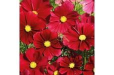 COSMOS BIPINNATUS GAZEBO RED SEEDS - EARLY FLOWERING - 100 SEEDS