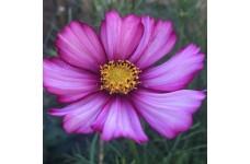 COSMOS BIPINNATUS PICOTEE SEEDS - WHITE FLOWERS WITH PINK & PURPLE - 100 SEEDS