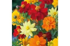 COSMOS SULPHUREUS BRIGHTNESS MIX SEEDS - MIXED COLOUR FLOWERS - 100 SEEDS