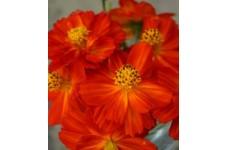 COSMOS SULPHUREUS REDCREST SEEDS - ORANGE RED FLOWERS - 100 SEEDS