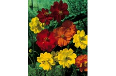 COSMOS SULPHUREUS SUNNY MIX SEEDS - RED, ORANGE & YELLOW - 100 SEEDS