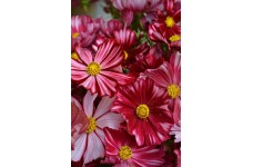 COSMOS VELOUETTE SEEDS - DEEP RED FLOWERS WITH WHITE STRIPES - 100 SEEDS