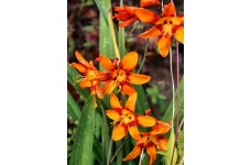 CROCOSMIA EMILY MCKENZIE BULBS / CORMS - ORANGE PERENNIAL - PRICED INDIVIDUALLY