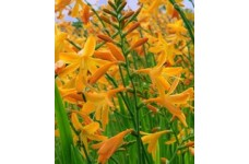 CROCOSMIA MONTBRETIA GEORGE DAVISON BULBS / CORMS - YELLOW PERENNIAL - PRICED INDIVIDUALLY