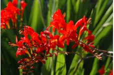 CROCOSMIA MONTBRETIA RED LUCIFER BULBS CORMS - RED PERENNIAL - PRICED INDIVIDUALLY