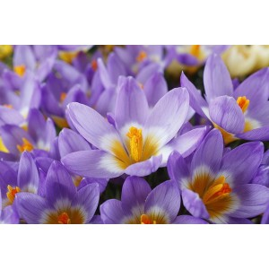 CROCUS CHRYSANTHUS SIEBERI SUBSP SUBLIMIS BULBS - TRICOLOUR BULBS - PRICED INDIVIDUALLY