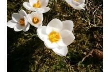 CROCUS CHRYSANTHUS SNOW BUNTING BULBS - WHITE BULBS - PRICED INDIVIDUALLY