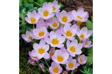 CROCUS CHRYSANTHUS FIREFLY SIEBERI BULBS - PRICED INDIVIDUALLY