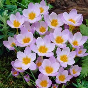 CROCUS CHRYSANTHUS FIREFLY SIEBERI BULBS - PRICED INDIVIDUALLY