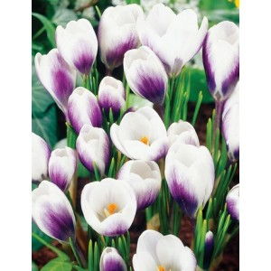 CROCUS PRINS CLAUS CHRYSANTHUS  BULBS - PERENNIAL LARGE FLOWERING  - PRICED INDIVIDUALLY