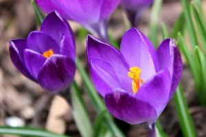 CROCUS TOMMASIANUS RUBY GIANT BULBS - EARLY FLOWERING REDDISH PURPLE ORANGE ANTHERS - PRICED INDIVIDUALLY