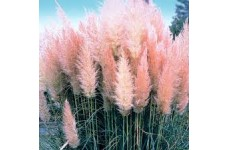 CORTADERIA SELLOANA ROSEA PINK FEATHERY PAMPAS GRASS 1 LITRE POTTED PLANT - PRICED INDIVIDUALLY