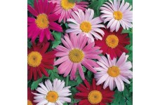 CHRYSANTHEMUM COCCINEUM TANACETUM ROBINSONS MIXED PERENNIAL 0.5L / 9CM POTTED PLANT - PRICED INDIVIDUALLY