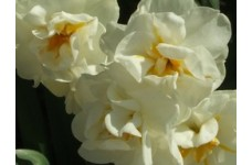 DAFFODIL NARCISSUS DOUBLE BRIDAL CROWN BULBS - WHITE WITH ORANGE  - PRICED INDIVIDUALLY