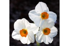 DAFFODIL NARCISSUS GERANIUM BULBS - CRISP WHITE WITH ORANGE  - PRICED INDIVIDUALLY