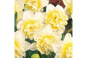 DAFFODIL NARCISSUS DOUBLE ICE KING BULBS - PALE YELLOW & IVORY WHITE  - PRICED INDIVIDUALLY