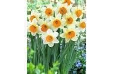 DAFFODIL NARCISSUS SEMPRE AVANTI BULBS - WHITE WITH ORANGE  - PRICED INDIVIDUALLY