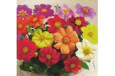 DAHLIA COLTNESS HYBRID MIX SEEDS - MIXED COLOUR FLOWERS - 100 SEEDS