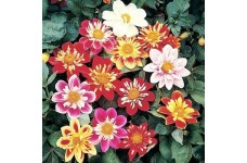DAHLIA VARIABILIS DWARF DANDY MIX SEEDS - MIXED COLOUR FLOWERS - 100 SEEDS
