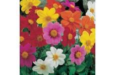 DAHLIA VARIABILIS DWARF MIGNON MIX SEEDS - MIXED COLOUR FLOWERS - 100 SEEDS