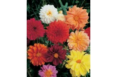 DAHLIA FIGARO MIX SEEDS - MIXED COLOUR DOUBLE FLOWERS - 100 SEEDS